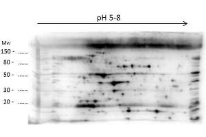 Western Blotting (WB) image for anti-LMW Host Cell Proteins (LMW HCP) antibody (ABIN5596745)