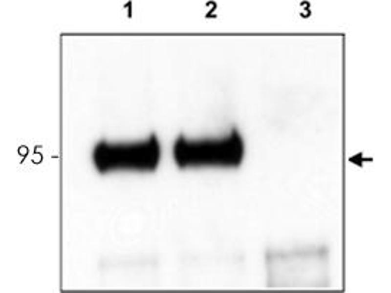 Image no. 2 for anti-Neurotrophic tyrosine Kinase, Receptor, Type 3 (NTRK3) antibody (ABIN539562)