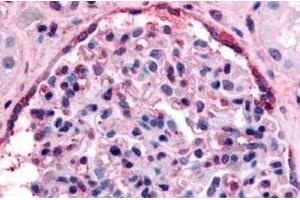 Immunohistochemistry (Paraffin-embedded Sections) (IHC (p)) image for anti-EPH Receptor A4 antibody (EPHA4) (C-Term) (ABIN4308682)