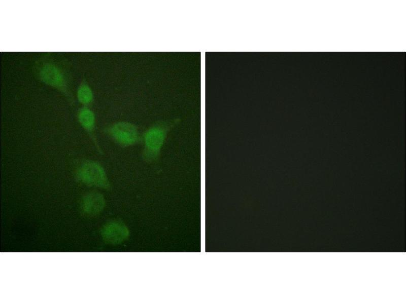 Immunofluorescence (IF) image for anti-PRKACA antibody (Protein Kinase A, alpha) (Thr197) (ABIN2499391)