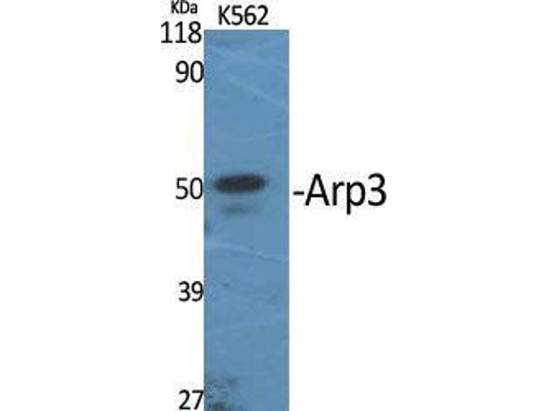 Western Blotting (WB) image for anti-Angiopoietin-Like 6 (ANGPTL6) (C-Term) antibody (ABIN3183375)