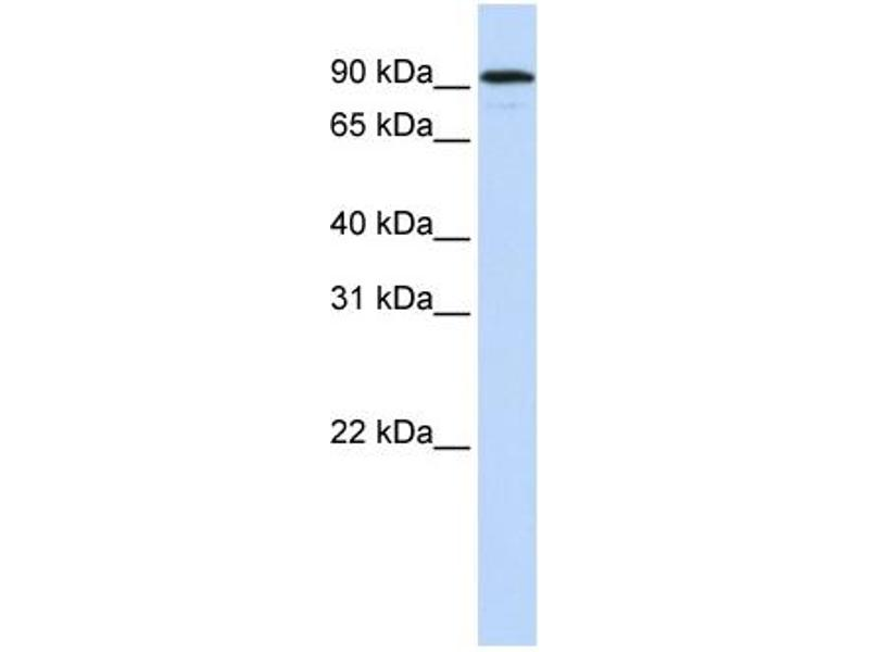 Western Blotting (WB) image for anti-Nuclear Receptor Subfamily 3, Group C, Member 1 (Glucocorticoid Receptor) (NR3C1) (N-Term) antibody (ABIN2782262)