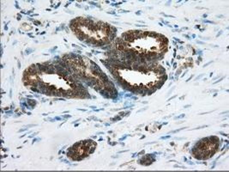 Image no. 8 for anti-Acetyl-CoA Acetyltransferase 2 (ACAT2) antibody (ABIN1496401)