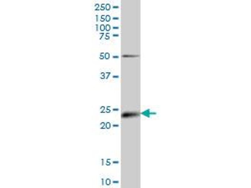 Western Blotting (WB) image for anti-Ephrin A5 (EFNA5) (AA 114-203), (partial) antibody (ABIN560700)
