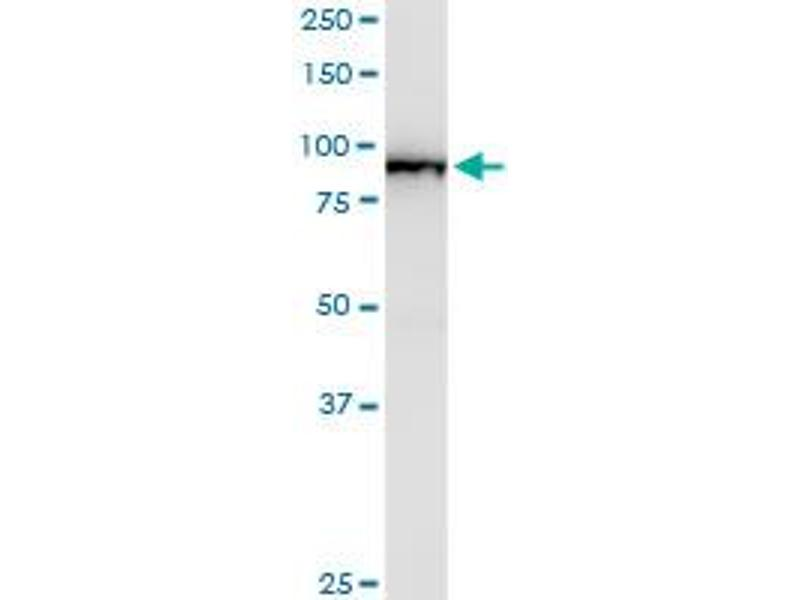 Western Blotting (WB) image for anti-BRAF antibody (V-Raf Murine Sarcoma Viral Oncogene Homolog B1) (AA 346-445) (ABIN513800)
