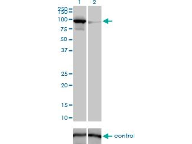 Western Blotting (WB) image for anti-Mitofusin 1 (MFN1) (AA 1-741), (full length) antibody (ABIN527615)