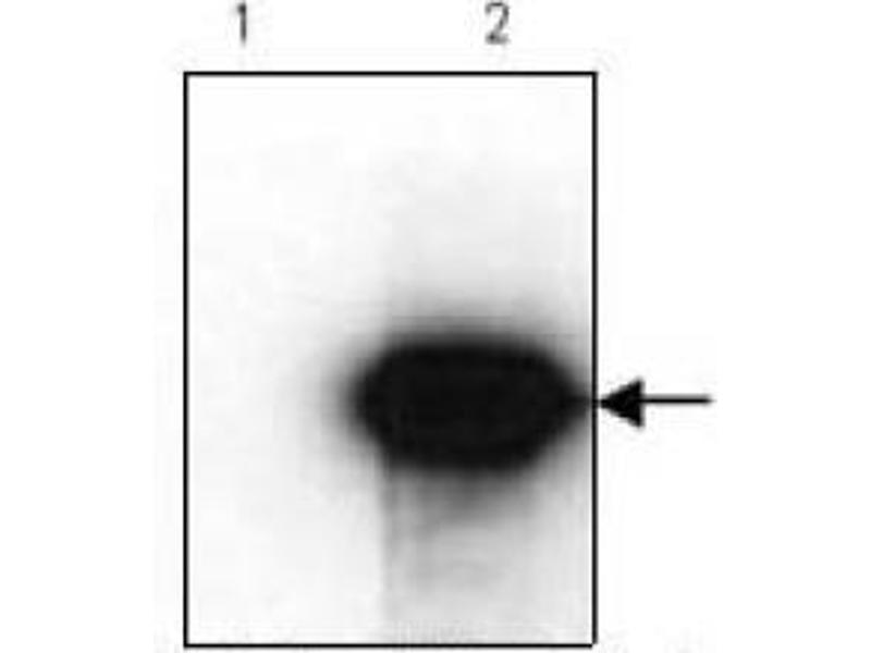 Western Blotting (WB) image for anti-HA-Tag antibody (ABIN1107475)