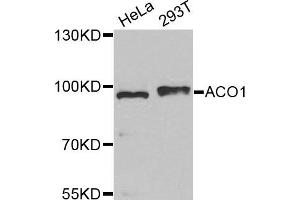 Image no. 1 for anti-Aconitase 1, Soluble (ACO1) antibody (ABIN1877037)