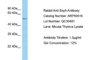 Image no. 1 for anti-Syntaphilin (SNPH) (N-Term) antibody (ABIN2788099)
