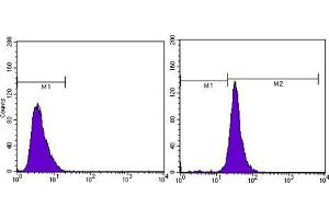 Flow Cytometry (FACS) image for anti-beta Actin antibody (Actin, beta) (N-Term) (ABIN968977)