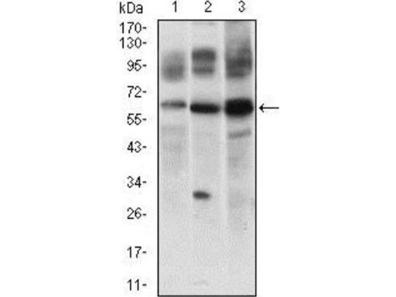 Western Blotting (WB) image for anti-CASP8 and FADD-Like Apoptosis Regulator (CFLAR) antibody (ABIN4312109)