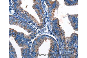 Immunohistochemistry (IHC) image for anti-Gap Junction Protein, gamma 3, 30.2kDa (GJc3) antibody (ABIN2425721)