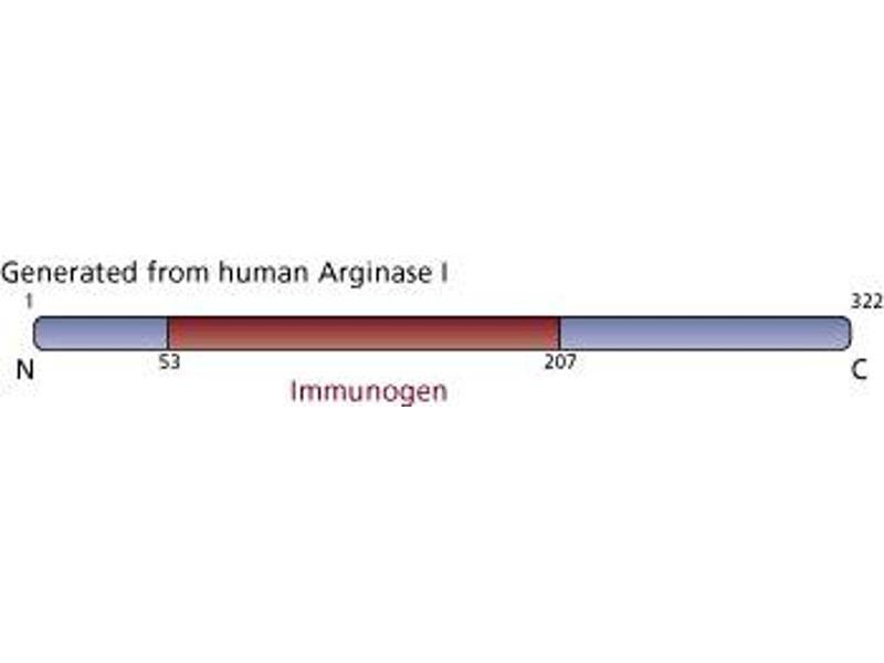 image for anti-Arginase, Liver (ARG1) (AA 53-207) antibody (ABIN968128)
