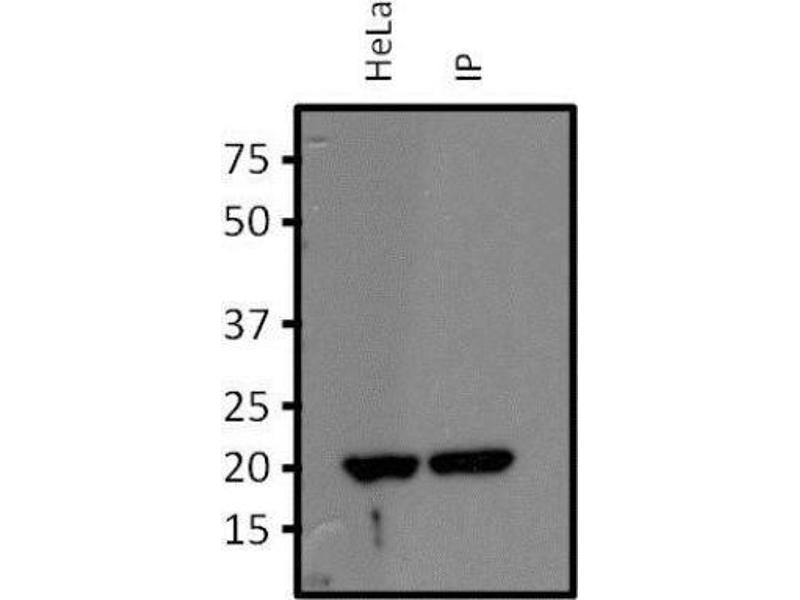 Immunoprecipitation (IP) image for anti-Ras Homolog Gene Family, Member A (RHOA) antibody (ABIN4350390)