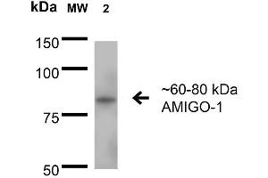 Image no. 2 for anti-Adhesion Molecule with Ig-Like Domain 1 (AMIGO1) (AA 554-574) antibody (Alkaline Phosphatase (AP)) (ABIN2483809)