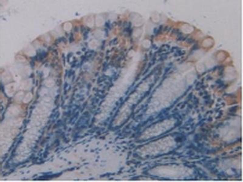 Immunohistochemistry (IHC) image for anti-Occludin (OCLN) (AA 17-107) antibody (ABIN1175609)