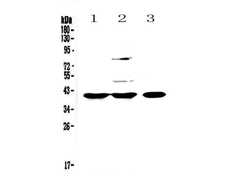 Western Blotting (WB) image for anti-Peptidylprolyl Isomerase D (PPID) (AA 306-370) antibody (ABIN5693052)