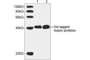 Image no. 3 for anti-His Tag antibody (ABIN300028)