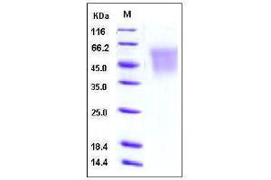Image no. 1 for Carcinoembryonic Antigen-Related Cell Adhesion Molecule 6 (Non-Specific Cross Reacting Antigen) (CEACAM6) (AA 1-320) (Active) protein (His tag) (ABIN2003449)