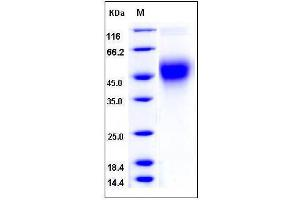 Image no. 1 for CD80 (CD80) (AA 1-245), (Extracellular Domain) (Active) protein (His tag) (ABIN2007806)