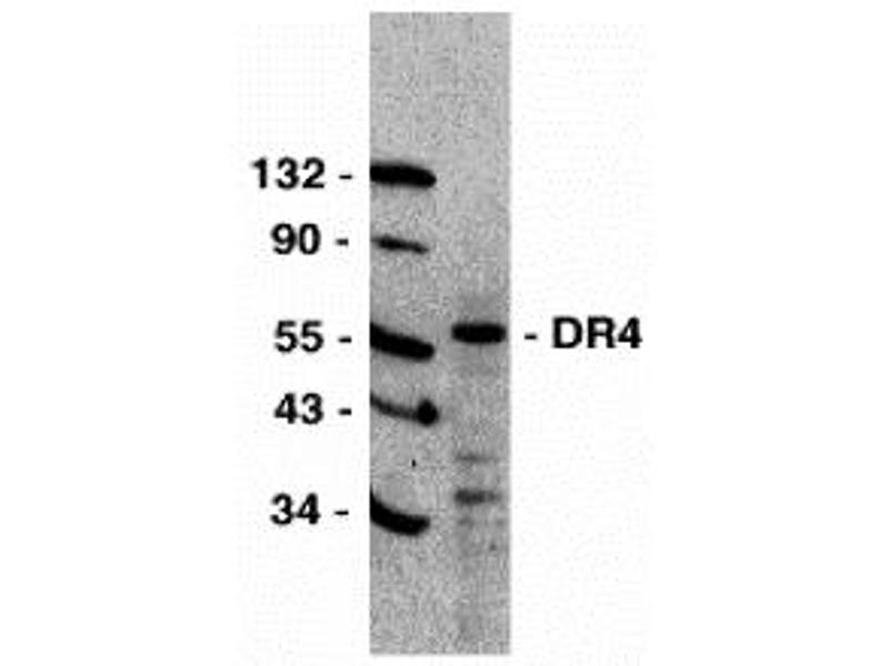 Western Blotting (WB) image for anti-Drought-Repressed 4 Protein (DR4) (C-Term) antibody (ABIN1030366)