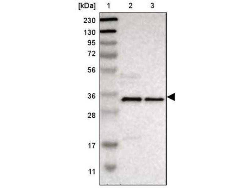 Western Blotting (WB) image for anti-Ephrin B2 (EFNB2) antibody (ABIN4308730)