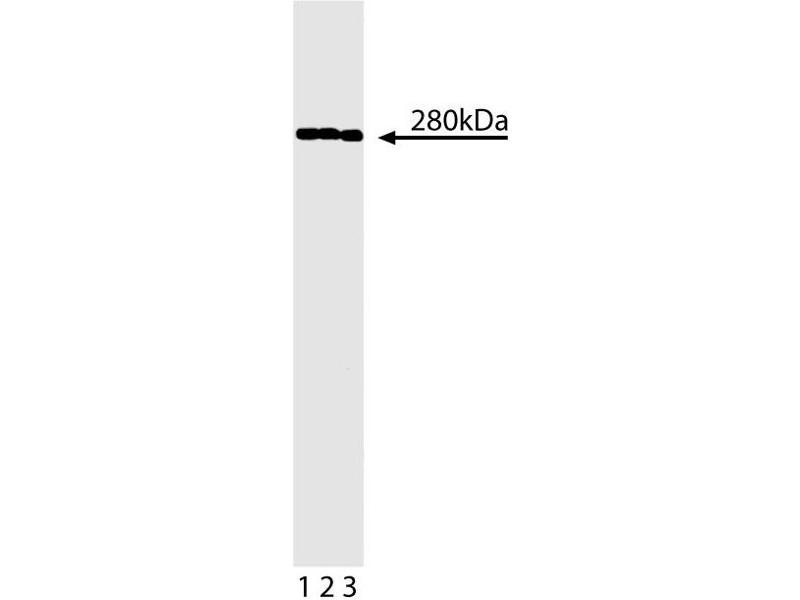 Western Blotting (WB) image for anti-Spectrin Beta, Non-Erythrocytic 1 (SPTBN1) (AA 2101-2189) antibody (ABIN968883)