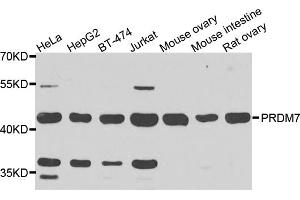 Image no. 1 for anti-PR Domain Containing 7 (PRDM7) antibody (ABIN6571488)