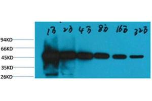 Western Blotting (WB) image for anti-TUBB antibody (Tubulin, beta)  (HRP) (ABIN3188051)