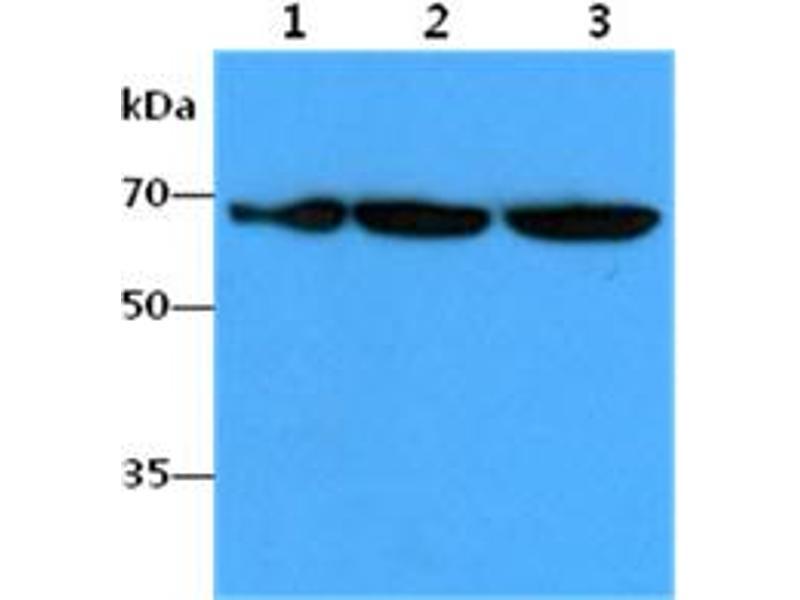 Image no. 2 for anti-Far Upstream Element (FUSE) Binding Protein 1 (FUBP1) antibody (ABIN5776101)