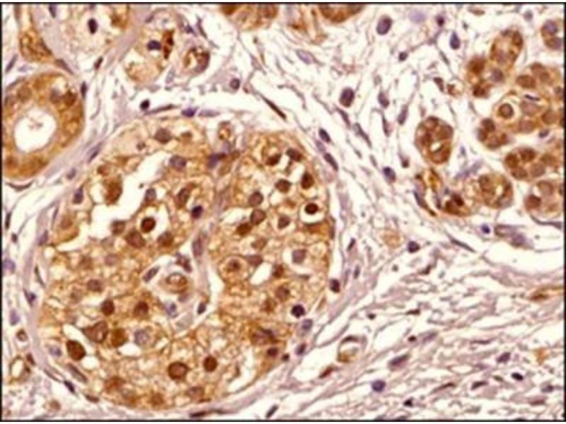 Immunohistochemistry (Paraffin-embedded Sections) (IHC (p)) image for anti-Transportin 1 (TNPO1) antibody (ABIN269569)