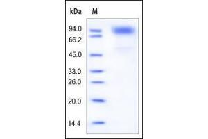 Image no. 1 for Colony Stimulating Factor 3 Receptor (Granulocyte) (CSF3R) (AA 25-621) protein (His tag) (ABIN2181144)