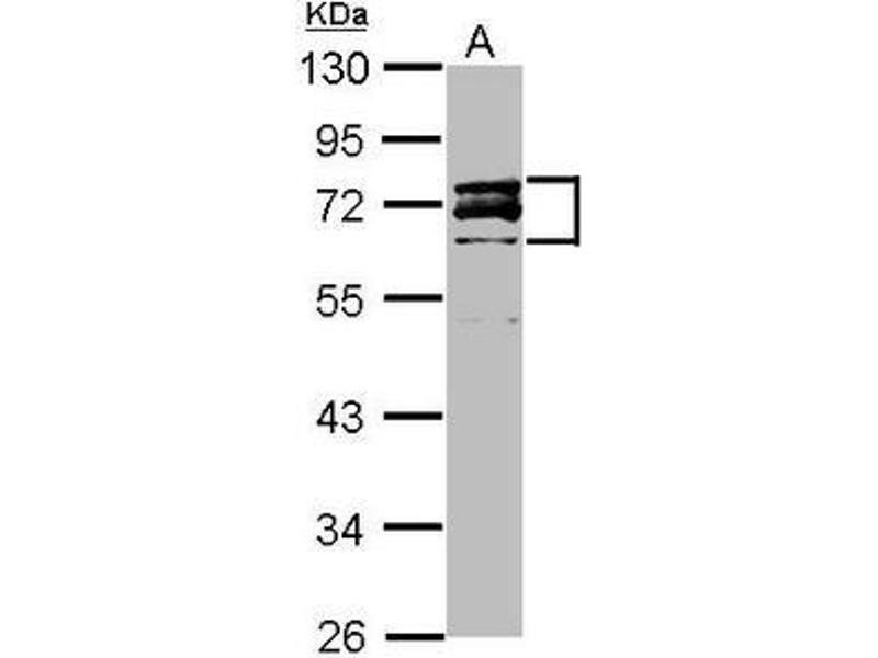 Western Blotting (WB) image for anti-Lamin A/C antibody (LMNA) (AA 59-249) (ABIN497933)