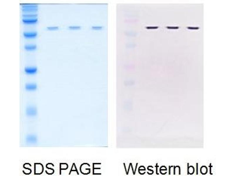 Western Blotting (WB) image for Influenza Nucleoprotein (NP) protein (ABIN3172540)