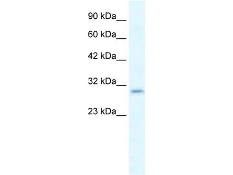 Western Blotting (WB) image for anti-Purinergic Receptor P2X, Ligand-Gated Ion Channel, 7 (P2RX7) (N-Term) antibody (ABIN2776335)