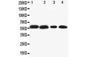 Image no. 1 for anti-Cytochrome P450, Family 1, Subfamily A, Polypeptide 2 (CYP1A2) (AA 265-282), (Middle Region) antibody (ABIN3044117)
