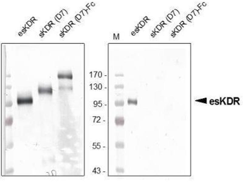 Western Blotting (WB) image for anti-Kinase insert Domain Receptor (A Type III Receptor tyrosine Kinase) (KDR) antibody (ABIN449648)