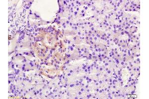 Image no. 2 for anti-Family with Sequence Similarity 3, Member B (FAM3B) (AA 30-80) antibody (ABIN672201)