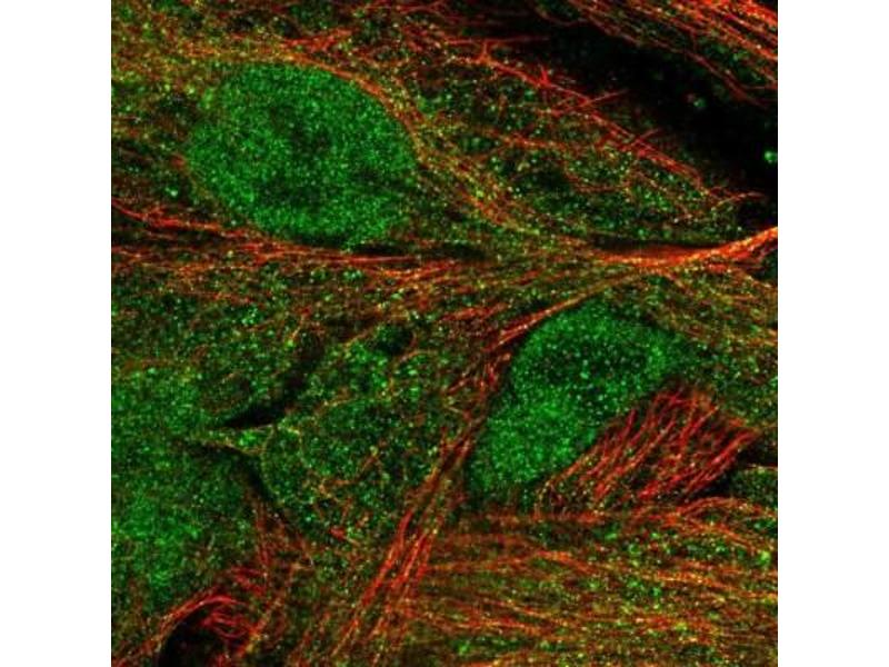 Immunofluorescence (IF) image for anti-Mannan-Binding Lectin Serine Peptidase 1 (C4/C2 Activating Component of Ra-Reactive Factor) (MASP1) antibody (ABIN4299992)