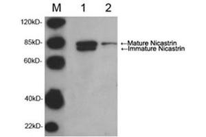 Image no. 1 for anti-Nicastrin (NCSTN) (AA 103-125), (N-Term) antibody (ABIN1573954)