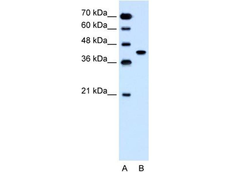 Western Blotting (WB) image for anti-Solute Carrier Family 35, Member B1 (SLC35B1) (C-Term) antibody (ABIN310520)