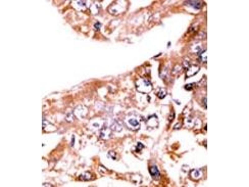 image for anti-Signal Transducer and Activator of Transcription 1, 91kDa (STAT1) (pSer727) antibody (ABIN358231)