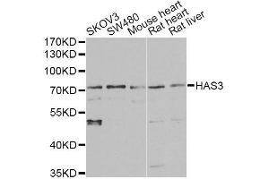 Image no. 2 for anti-Hyaluronan Synthase 3 (HAS3) antibody (ABIN6141615)
