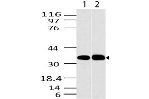 Image no. 1 for anti-C-Type Lectin Domain Family 1, Member A (CLEC1A) (AA 1-200) antibody (ABIN5027112)