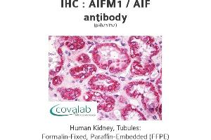 Image no. 1 for anti-Apoptosis-Inducing Factor, Mitochondrion-Associated, 1 (AIFM1) (AA 151-180) antibody (ABIN1731624)