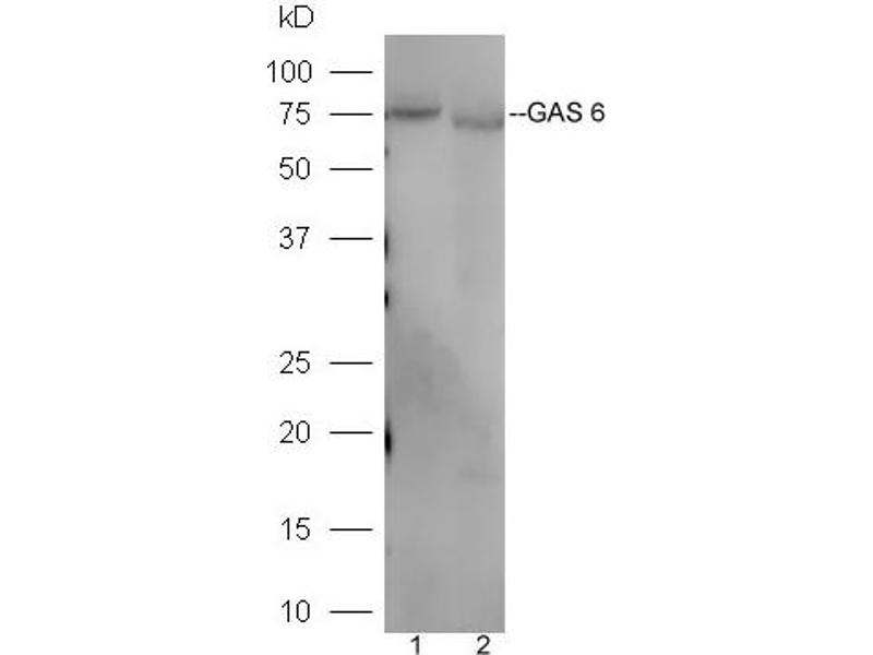 Western Blotting (WB) image for anti-GAS6 antibody (Growth Arrest-Specific 6) (AA 560-610) (ABIN873146)