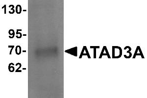 Image no. 1 for anti-ATPase Family, AAA Domain Containing 3A (ATAD3A) (N-Term) antibody (ABIN1031242)