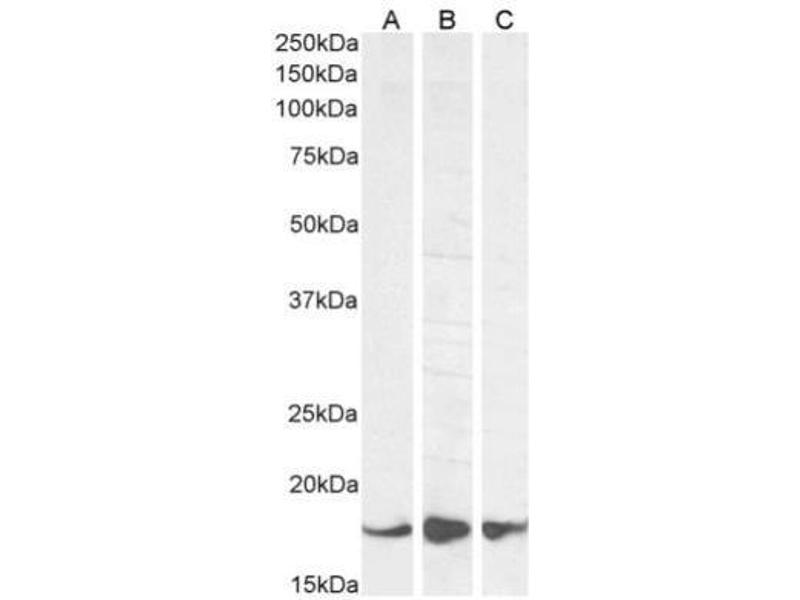 Western Blotting (WB) image for anti-Allograft Inflammatory Factor 1 (AIF1) (C-Term), (Isoform 1) antibody (ABIN249515)