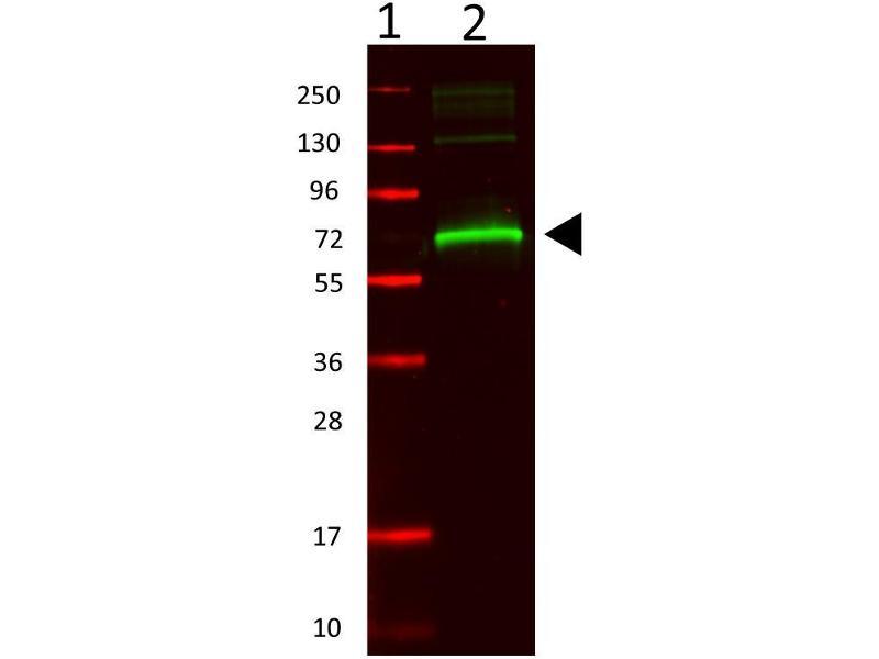 Image no. 3 for anti-Albumin (ALB) antibody (ABIN94871)