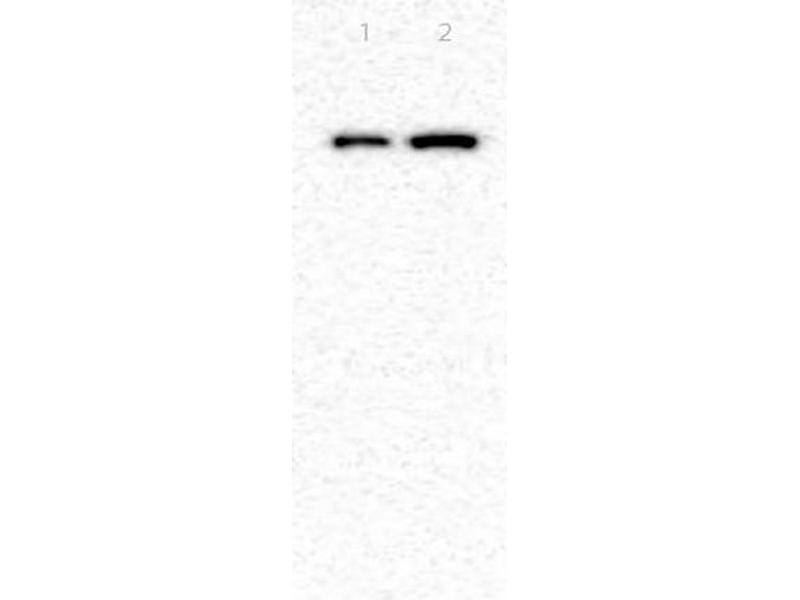 Western Blotting (WB) image for anti-Tight Junction Protein 1 (Zona Occludens 1) (TJP1) (AA 1670-1720) antibody (ABIN675024)